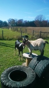 The goats at play