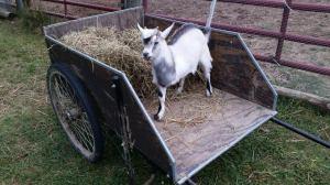 toby in cart
